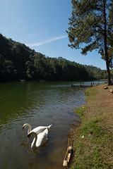 _DSF0345 (NeVaSanYa) Tags: lake swan traval pangung meahongson