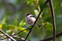 Codibugnolo (Rolando CRINITI) Tags: bird natura uccelli uccello arenzano ornitologia codibugnolo