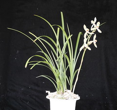 Paphiopedilum tortisepalum 'Cloud Dragon Lotus' FCC/AOS (cieneguitan) Tags: flower flora lan ran orkid okid angrek anggerek orientalcymbidium