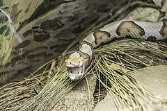Snake (pawel63) Tags: nature zoo nikon snake lowry