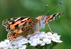 Painted Madame Butterfly (Ger Bosma) Tags: summer flower macro closeup butterfly cosmopolitan paintedlady distelvlinder vanessacardui foraging distelfalter beladama vanessadoscardos vanesseduchardon vanessadelcardo rusakaosetnik vanesadeloscardos   img102389filtered