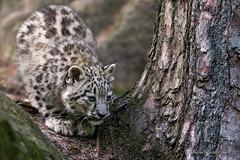 IMG_0539 (StevenReburgh) Tags: snow zoo cub leopard bigcat steven tierpark tiergarten nrnberg catofprey ounce panthera raubkatze schneeleopard irbis uncia tierjunges reburgh