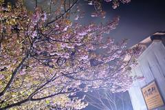 20160305-DSC_2364.jpg (d3_plus) Tags: street sea sky plant flower nature japan spring nikon scenery nightshot cloudy bloom  cherryblossom  sakura lightup nightview 28105mmf3545d nikkor    shizuoka    izu   28105   rapeblossom    28105mm  zoomlense  minamiizu    kawazuzakura    28105mmf3545 d700 281053545  nikond700 shimokamo aiafzoomnikkor28105mmf3545d nightcherryblossom 28105mmf3545af    southcherryblossomandrapeblossomfestival aiafnikkor28105mmf3545d shootingstarsandsakurainnight sakurainnight