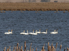 The return of the Swans (annkelliott) Tags: lake canada bird nature water field birds swimming swan outdoor group cattails alberta grassland ornithology avian trumpeterswan franklake cygnusbuccinator familyanatidae daybeforespring annkelliott anneelliott seofcalgary fz200 fz2003 19march2016