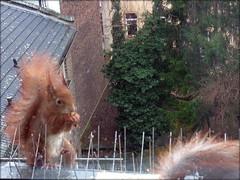 """Zwei hungrige Eichhörnchen ganz nah beieinander ... (flixx-ak) Tags: germany deutschland squirrel eichhörnchen 2016 flixxakoffenbachammainhessen frühlingsahnen """"anvormeinemfenster"""" r0018961"""
