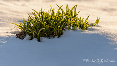 Melt Away (KAM918) Tags: sunlight snow plant weather burlington ma spring nikon massachusetts away growth melt d610