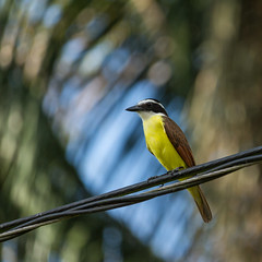 Social Flycatcher, Costa Rica (Nadine R*) Tags: bird socialflycatcher
