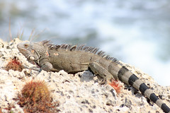 Iguana (jeandubrulee) Tags: netherlands dutch reptile lizard iguana curacao caribbean curaao antilles antillen caribisch