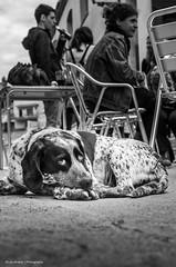 Fiera (Luis Alvarez Marra) Tags: street bw white black dogs monochrome 35mm photography spain nikon flickr candid catalonia luis alvarez tog marra vallbonadelesmonges d7000