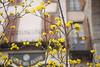 European cornel (Rosmarie Wirz) Tags: yellow facades flowering bergamo springtime corniolo europeancornel