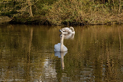 waw1604172 (DaseinPhoto) Tags: nature birds eppingforest wildlife essex cygnets muteswan wildfowl connaughtwater daseinphoto