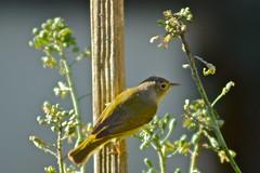 Warbler (nebulous 1) Tags: bird fauna nikon nebulous1