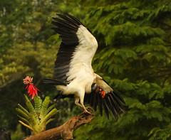 King Vulture (megpuente (sporadic temporarily)) Tags: toucan costarica beautifulbird megpuente collardaracaritoucan