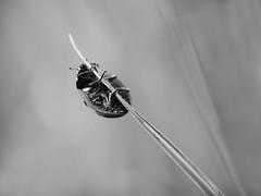 Coccinelle au cochon pendu. (steph20_2) Tags: bw white black macro monochrome closeup insect lumix spring noir noiretblanc ngc panasonic ladybird monochrom blanc printemps 45mm insecte coccinelle m43 gh3 skanchelli
