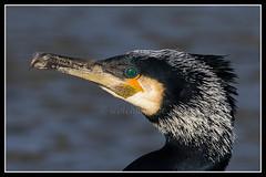IMG_0128 Cormorant (scotchjohnnie) Tags: nature canon wildlife waterbird cormorant canoneos ornithology northeastengland phalacrocoracidae canon7dmkii scotchjohnnie canonef100400f4556lisiiusm