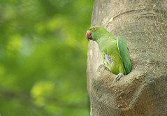Rose Ringed Parakeet /    (ahmedezaz76) Tags: wild bird animal rose outdoor parakeet bangladesh ringed