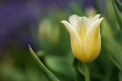 Poise (bprice0715) Tags: macro green nature beautiful beauty yellow canon outdoors spring colorful purple vibrant tulip naturephotography macrophotography beautyinnature canoneos5dmarkiii canon5dmarkiii ef100mmf28lisusmmacro