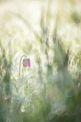 fritillaire pintade (YannW) Tags: flower nature fleur canon 300mm 6d mayenne fritillaire