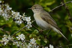 Willow Warbler. (stonefaction) Tags: park nature birds scotland riverside dundee wildlife willow warbler