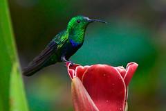 Green-throated Carib (myfriendlygiant) Tags: bird birds hummingbird barbados flowerforest greenthroatedcarib eulampisholosericeus