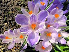 Flowers - (PL) Krokus (transport131) Tags: flower garden spring crocus krokus wiosna kwiat ogród