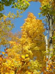 Golden beech and maple (Alison Margaret) Tags: park autumn tree fall golden maple quebec foliage acer gatineau beech fagus fagaceae saccharum