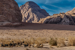 flock of Bedouin sheep -  Wadi Rum, Jordan (Phil Marion) Tags: travel wedding boy vacation people woman hot sexy ass beach girl beautiful beauty sex canon naked nude nipples slim boobs nu candid dick young hijab nackt explore teen tranny xxx chubby plump  burqa nudo desnudo dink  nubile telanjang schlampe    5photosaday explored  thn nijab    kha    malibog    philmarion         saloupe