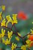 Kangaroo Paw (10greenbottles) Tags: flowers kangaroopaws