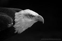 Bald Eagle On Black (Old-Man-George) Tags: portrait bird animal eagle baldeagle beak feathers hampshire raptor captive hawkconservancy wwwgeorgewheelhousecom georgewheelhouse d880723