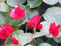 DSCN2606 (gabrielabaryov) Tags: naturaleza flores color macro verde america uruguay rojo flora nikon y amor rita lindo latinoamerica coolpix latino bella hermosa amistad fuana belleza flore santarita ojas petalos delicadeza sonta l830