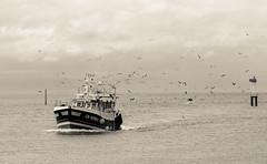 DSC_2679 (Joe Nathan78) Tags: sea mer birds sepia port boat nikon normandie bateau fishers trouville pcheurs mouettes 105mm d700