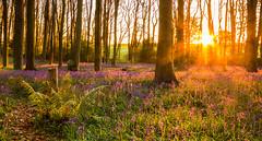 Sunrise (Justsha2) Tags: blue sunrise spring woods somerset 1020mm bluebell canon60d