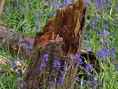 IMG_0189 (Joy Shakespeare) Tags: uk coventry woodlandtrust allesley elkinwood