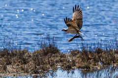 Balbuzard pcheur avec Brochet / Osprey with Northern pike (Wild_Pete) Tags: canada qubec osprey northernpike brochet villedequbec maraisdunord balbuzardpcheur