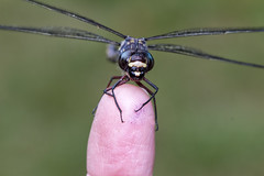 On my Finger (aussiegall) Tags: bug insect dragonfly finger odonata