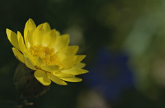 160406 Morning in the garden_DEB9557 copy (debunix) Tags: macro yellow whoami blossombloomflower possiblepentachaetaaurea