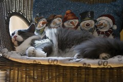 La sieste de Flix (Luckyquebec) Tags: cat chat gato siesta katz sieste sleeeping