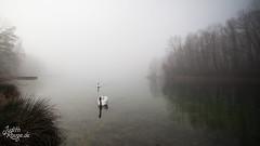 Misty Lake I (judithrouge) Tags: morning mist lake misty fog see morninglight swan nebel foggy peaceful atmosphere swans mystical schwan morgens mystisch schwäne friedlich morgenstimmung neblig atmosphärisch