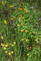 Colorful mix of wildflowers (openspacer) Tags: wildflower mixture pinnaclesnationalpark
