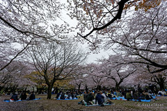 20160405-061-Picnics under Yoyogi-koen cherry blossoms (Roger T Wong) Tags: travel people holiday japan garden balloons tokyo spring picnic crowd harajuku cherryblossoms canonef1740mmf4lusm yoyogikoen 2016 canon1740f4l canoneos6d rogertwong