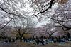 20160405-061-Picnics under Yoyogi-koen cherry blossoms (Roger T Wong) Tags: travel people holiday japan garden balloons tokyo spring picnic crowd harajuku cherryblossoms canonef1740mmf4lusm yoyogikoen 2016 canon1740f4l canoneos6d rogertwong