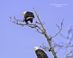 What ever you do.....Don't look up!!! (Hawg Wild Photography) Tags: bird nature birds nikon eagle wildlife baldeagle raptor prey eagles raptors americanbaldeagle d810 of terrygreen nikon600mmvr