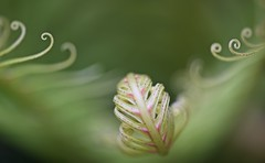 Curly Whirly.... (setoboonhong) Tags: fern green nature up field leaves garden botanical close bokeh outdoor patterns melbourne curly tip veins fractals depth ends uncurling
