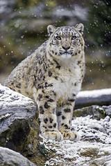 Djamila looking at me (Tambako the Jaguar) Tags: winter wild portrait snow cold female cat zoo switzerland big nikon rocks sitting looking stones posing fluffy zrich snowleopard d4 uncia