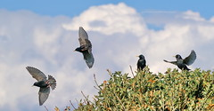 C'mon guys lets give this murmurating malarky a bit of a go...... how difficult can it be? (Gary-West Sussex) Tags: bird starling murmuration wideater