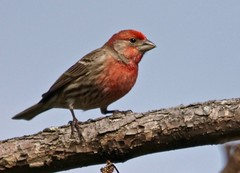 Seeing Red (Scott M. Mohn) Tags: red nature minnesota birds animal spring wildlife finch sonyilca77m2