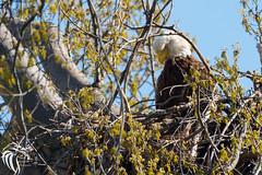 Bald Eagles of New Jersey - 2 (RGL_Photography) Tags: nature birds us newjersey unitedstates eagle wildlife baldeagle godblessamerica ornithology mothernature raptors haliaeetusleucocephalus birdsofprey americanbaldeagle wildlifephotography nikond610 nikonafs200500mmf56eedvr