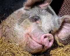 Zzzzzzzz... (Wes Iversen) Tags: texture animals brighton michigan straw pigs milford mammals farmanimals hogs htt kensingtonmetropark nikkor80400mm texturaltuesday
