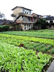 Vegetable field (MelindaChan ^..^) Tags: china sky field countryside village riverside guilin hill vegetable mel limestone melinda 漓江 lijiang guangxi 桂林 廣西 chanmelmel melindachan