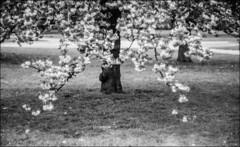 summarex II (Paucal) Tags: leica de 85mm du sakura mm monochrom antony parc japon hanami sceaux f15 cerisiers summarex